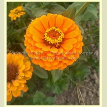 'California Giant Orange' Zinnia - Zinnia elegans from Victory Seeds®