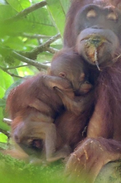 Circle of Life in Batikap | BOS Foundation Tears of sorrow and of joy for the orangutans in Batikap Forest