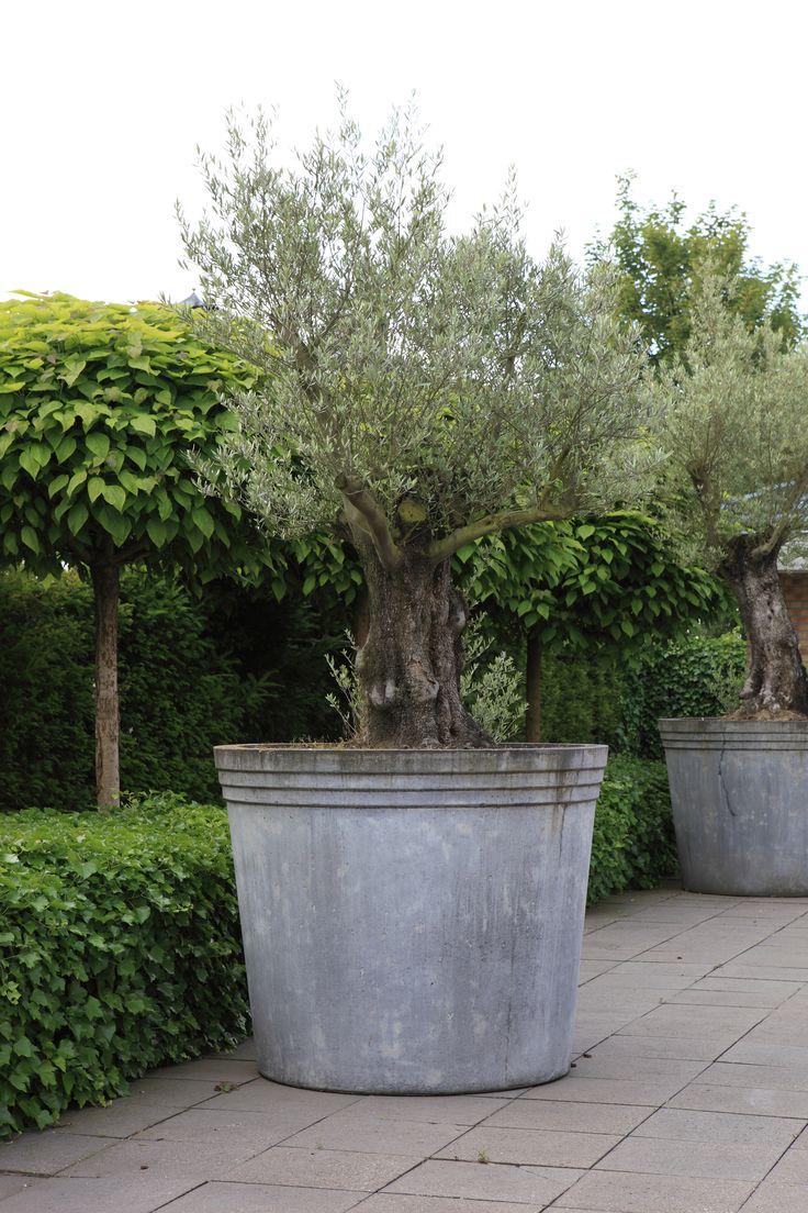 Grote betonnen pot met oude olijfboom www.biesot.nl