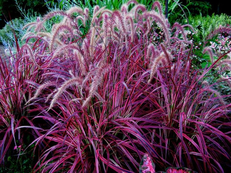 Botanical name: Pennisetum setaceum 'Purpureum'  Common name: Fountain grass  Zones: 8 to 11  Height:5 feet  Light: Sun  PERENNIALS
