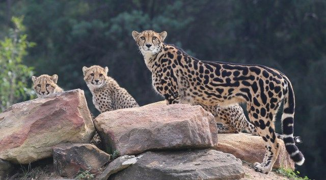 Dubbo Zoo and The Three Baby Cheetahs - NOMAD/nester Travel and Photography