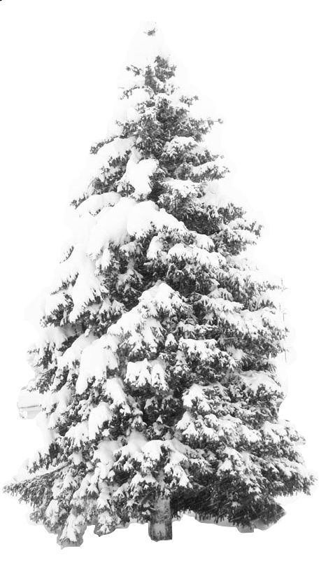 - Images of pine trees in snow ...