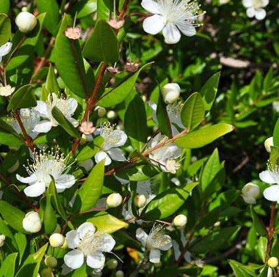 Seeds New Rare Myrtus Communis Common Myrtle Garden Plants Flowers Plants Myrtle Essential Oil Planting Flowers