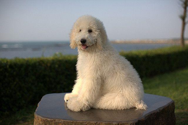 The 30 Super Cute Poodle Puppies Poodle Puppy Poodle Dog Poodle