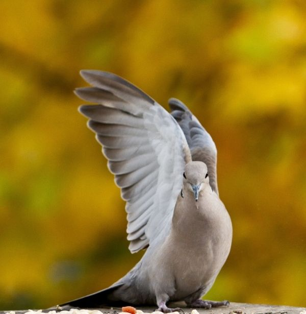 20 Beautiful Pictures of Doves - SloDive
