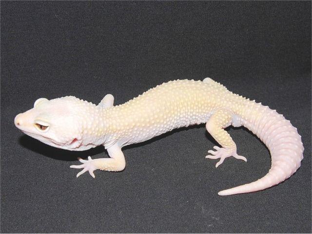 albino mack snow leopard gecko | dromgag.top