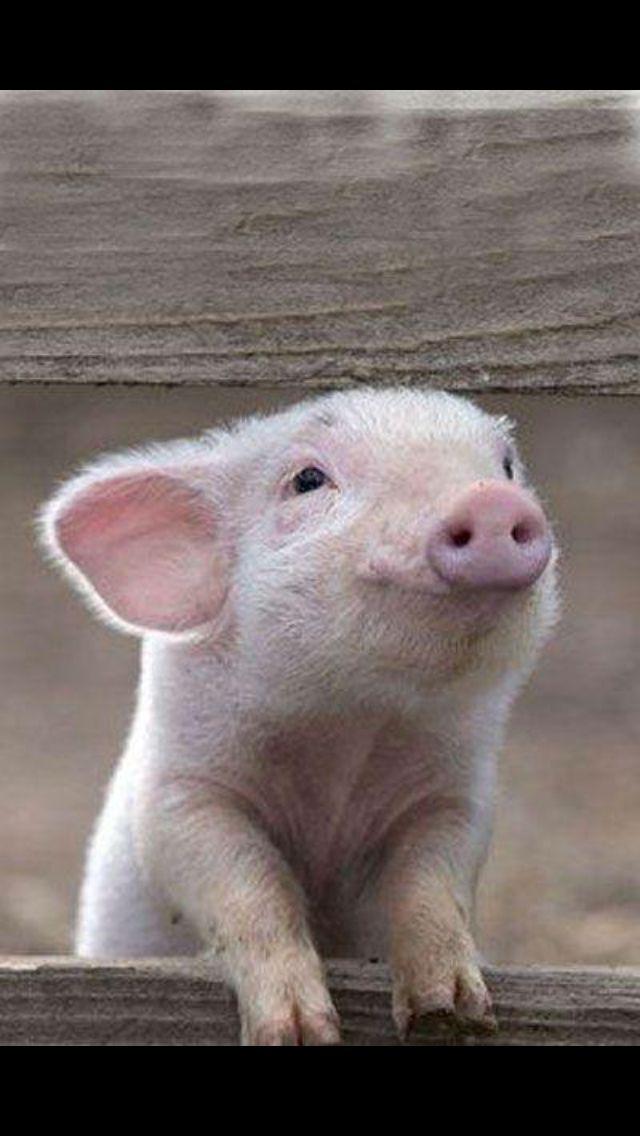 Little piggy