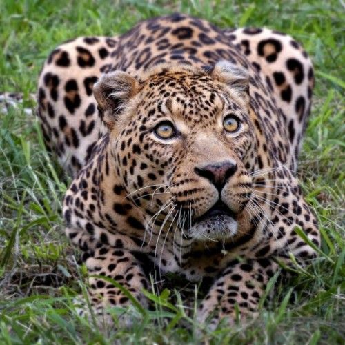 Leopard.  High Quality Apple iPad Wallpapers.