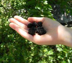 Árboles frutales de crecimiento rápido 2