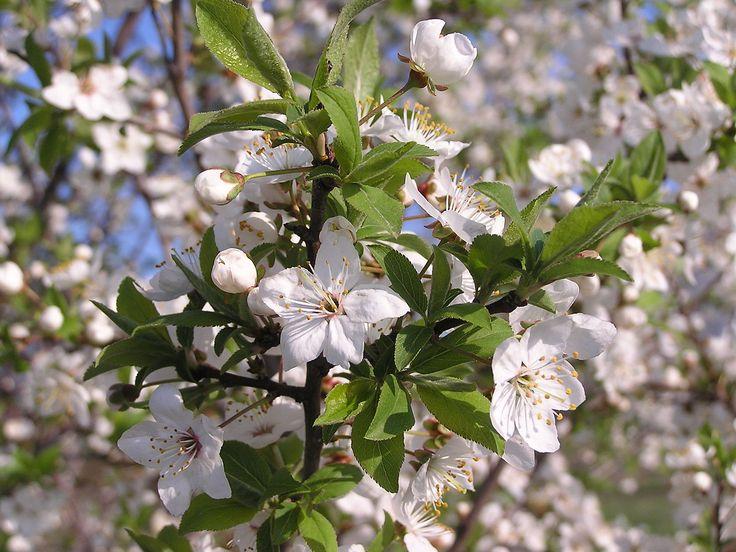 File:Prunus cerasus (AB).jpg