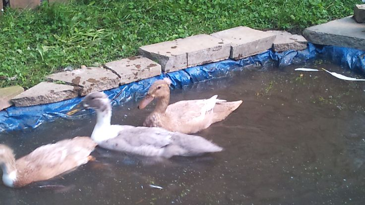 The 18 best images about my runner ducks on pinterest for Temporary koi pond