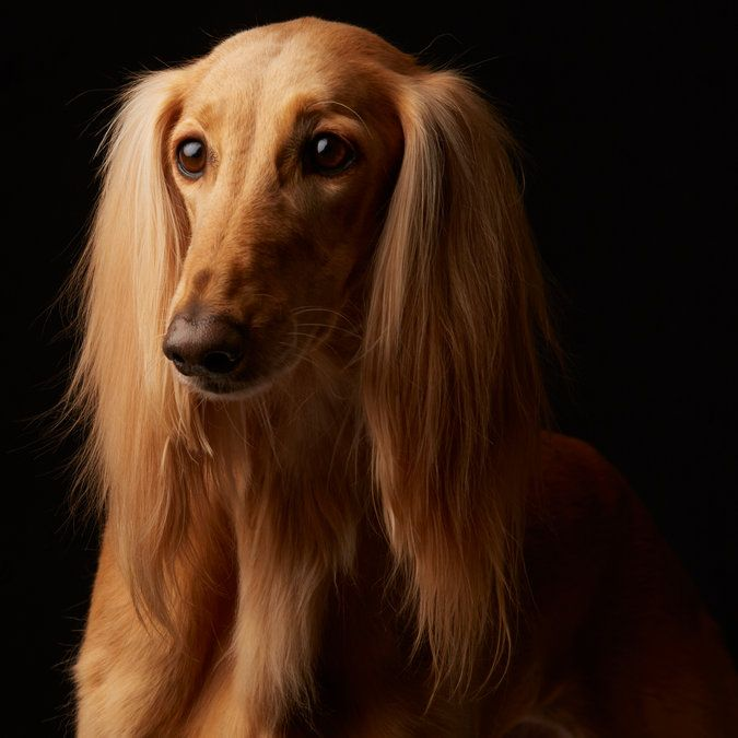 See if you can match Pepé the Saluki to his owner in the Westminster Dog Show Look-Alike Quiz. (Photo: Fred R. Conrad for The New York Times)