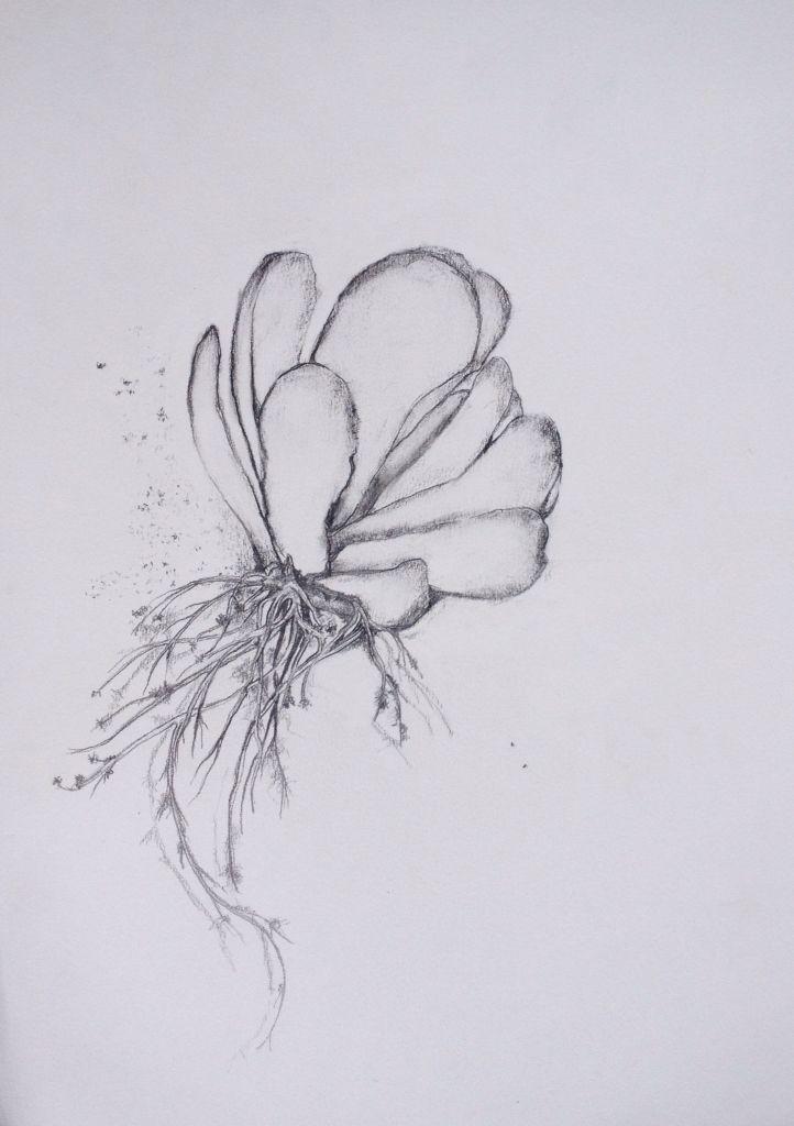 Kalanchoe luciae - Flapjack succulent Pencil. Lisa McGregor