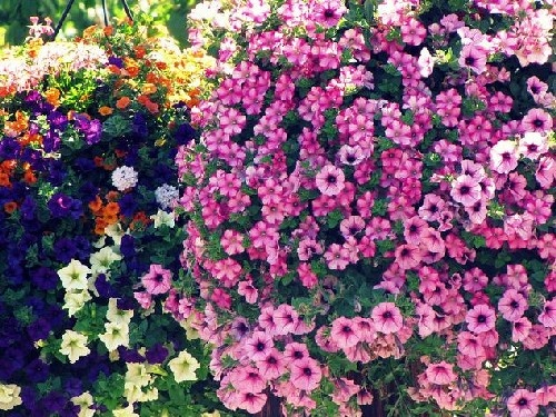 Hanging Flower Baskets In Full Sun : Best images about hanging baskets on