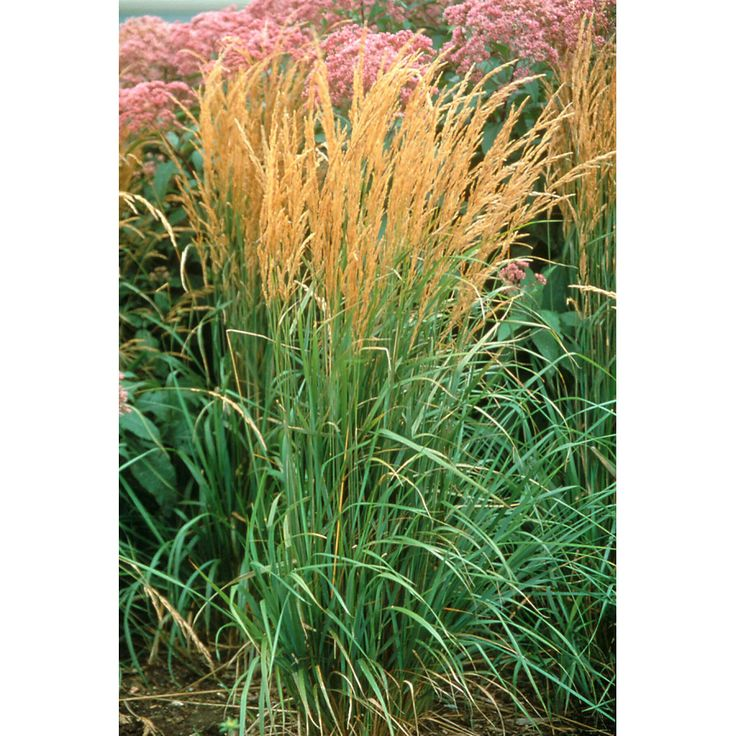 1000 Images About Plants Ornamental Grasses On