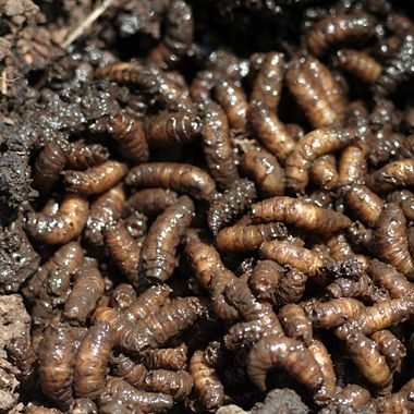Bugs:  Theyre Whats for Dinner (Yahoo! Health Article Included)