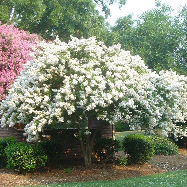 139 best images about gardening landscaping on pinterest for Small perennial trees