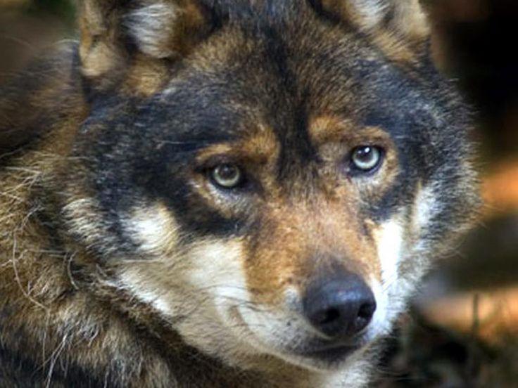 Abruzzese wolf