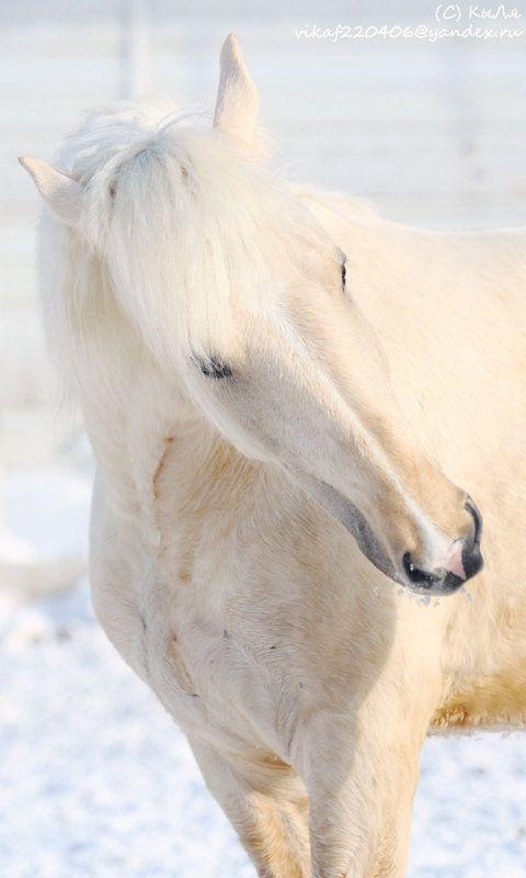 Byelorussian Harness Horse gelding Kampari ~ Author: KyLya*