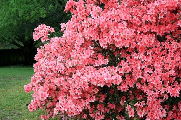 how to grow azaleas outdoors