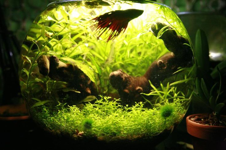 Betta sitting on top after water change tropical fish forums for Betta fish water change
