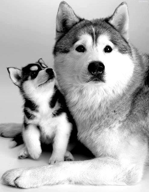 Husky puppy and mom
