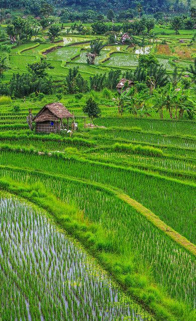 Rice terraces close to Ubud. Bali, Indonesia.  The rice fields are so beautiful!  Bali is a paradise!
