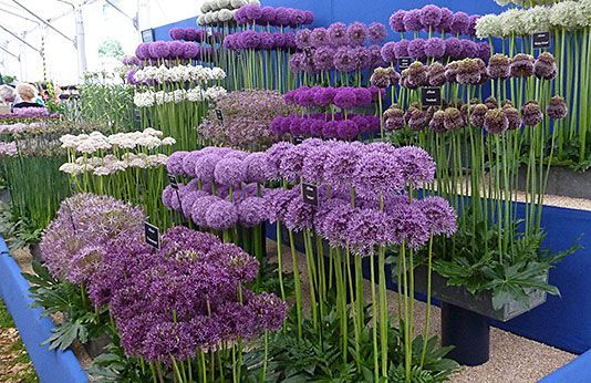 Alliums for the flower garden. How to grow alliums, what variety to choose. Hardy. Easy. Not susceptible to any serious plant diseases or pests and even ornamental alliums are deer and rodent resistant because they are technically members of the onion family.