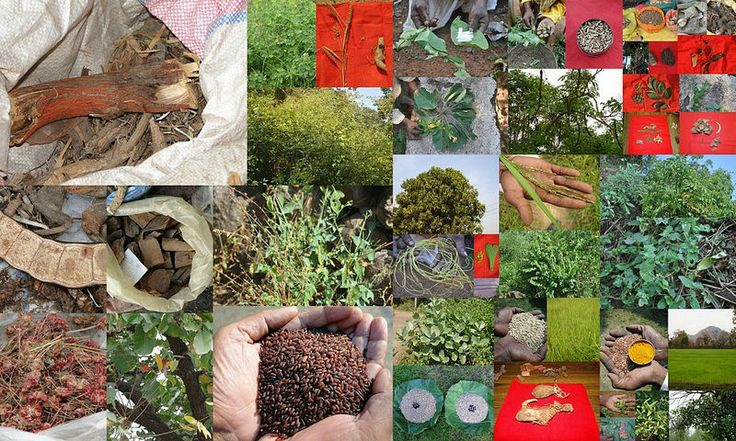 Medicinal Rice based Tribal Medicines for Diabetes Complications and Metabolic Disorders (TH Group-703) from Pankaj Oudhia's Medicinal Plant Database