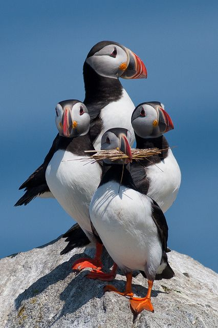 Atlantic Puffins...They fish in the ocean for their food,nest near by