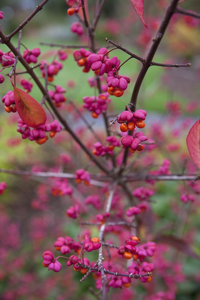 Autumn colour: Euonymus alatus. A spreading, deciduous shrub that does best in moist, well-drained soil. Crimson leaves in autumn accompany vivid purple fruits and orange seeds. Photo by Sarah Cuttle. Read more about Euonymus on our website http://www.gardenersworld.com/plants/search/name/euonymus/