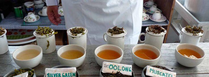 Makaibari Organic tea, Darjeeling Tea, Organic Darjeeling Tea