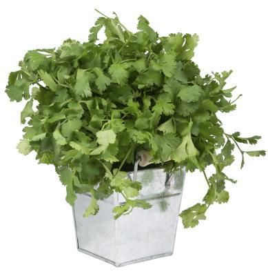 Cilantro, a savory herb, cannot be rooted from cuttings... Make sure you cut it back so that it does not flower, or you will end up with bitter leaves that have begun to get ready to seed