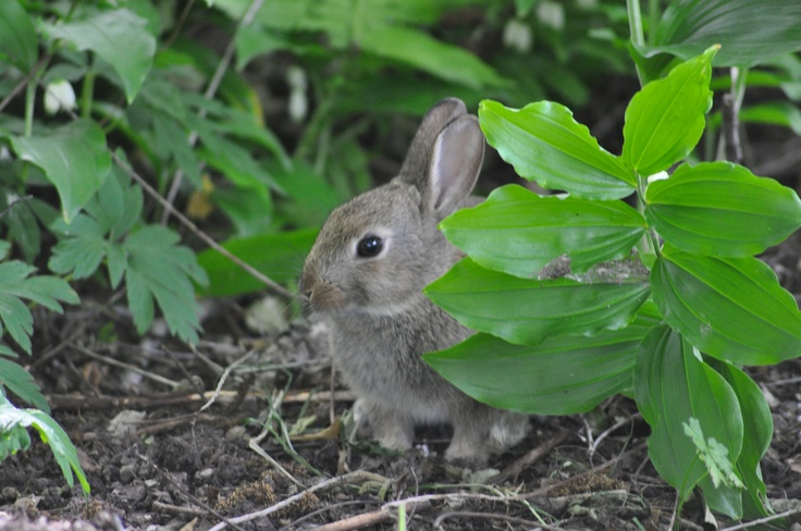 Bunny at the botanic garden:  Cottontail Rabbit