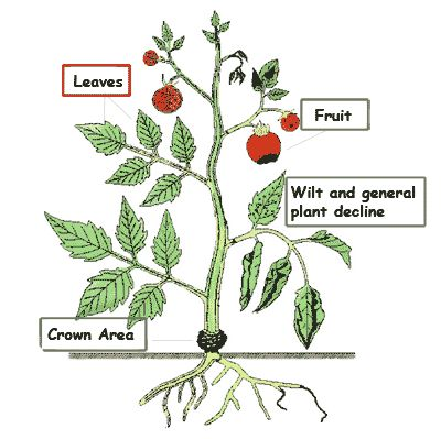 Tomato Disease Identification Key by Affected Plant Part: Leaf Symptoms