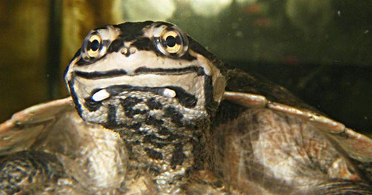 Qué otros animales pueden vivir con tortugas. En la naturaleza, las tortugas coexisten con varios otros animales, así como con otras tortugas. En cautiverio, los tanques y recintos pueden dar lugar a controversias de hacinamiento y territorial. Tu tortuga es más probable que sea feliz como mascota solitaria. Después de gastar dinero para que tu acuario o terrario estén completos, es posible ...