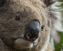 WILD KOALAS IN AUSTRALIA!  Love, love, love wildlife viewing, and these wild koalas were adorable!  Get wildlife viewing tips at http://www.examiner.com/travel-in-national/astounding-nature-casts-a-spell-of-koala-magic-australia