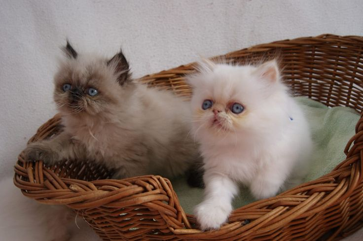 200,00€ · Gatitos persas ahora disponibles · Gatitos persas ahora disponibles Tenemos una nueva camada de gatitos persas ahora disponible. Tienen 10 semanas de edad y actualmente están en todas las vacunas. Actualmente somos 1 mujeres y 1 varones. · Mascotas y animales > Mascotas > Gatos > Gatos de raza > Gatos Persa