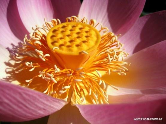 Carolina Queen Lotus Flower