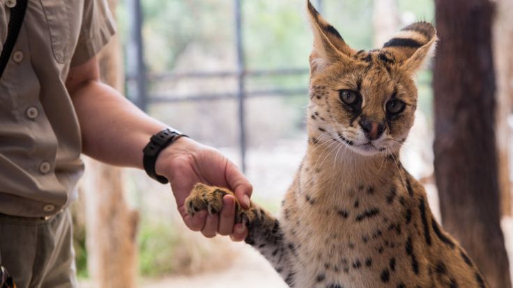 Get up close to our stunning African Serval Cats in a cat experience like no other! Visitors will watch in amazement as the African Serval Cats display their incredible athleticism and agility. You will be able to get close enough to pat them and take amazing close-up wildlife photos..Purr-fect!!!
