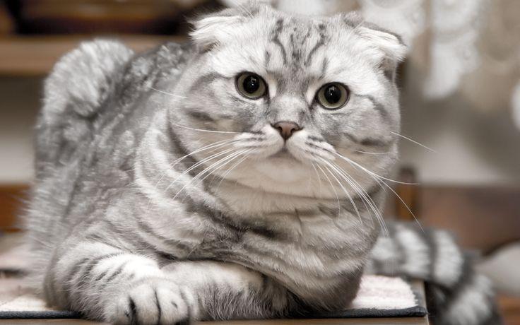 Красивый серебристый шотландский вислоухий кот