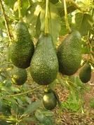 "Dwarf Avocado Tree -  ""Potted Vegetable Garden Lifestyle"""