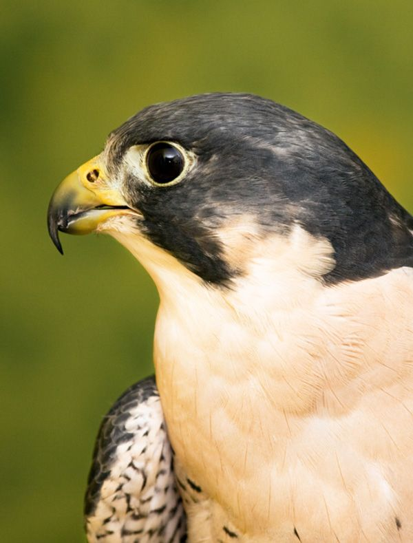 Peregrine Falcon ()  Tamarack has seven Education Birds of Prey that we use to give people an up close and personal encounter they will never forget. Read abou...