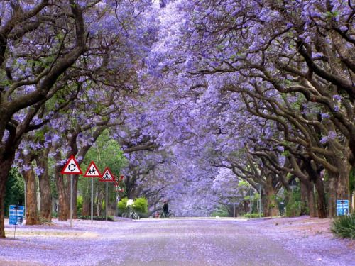 """Jacarandas Walk, Pretoria, South Africa Pretoria is often called """"Jacaranda City"""", thanks to the miles upon miles of jacaranda trees that line its roads, parks and avenues. The brilliant purple flowers of the tree are a sight to behold, especially in early November (peak summer in the southern hemisphere) when the flowers are in full bloom. #southafrica #travel #beautiful #nature"""