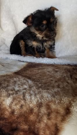 Yorkshire Terrier Mix Puppies For Sale Lancaster Puppies