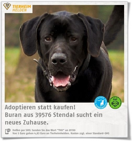 Deutsche dogge husky mischling