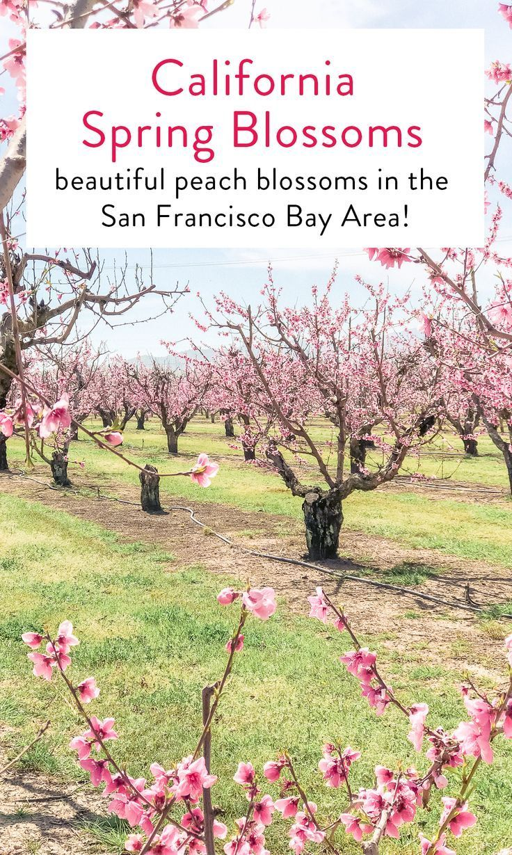 Spring Peach Blossoms In The Sf Bay Area At Brentwood Orchards