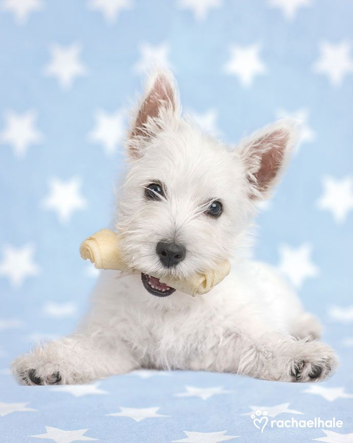 Dougall  (Westie ) - LOVE THIS PUPPY!!!