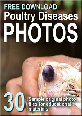 poultry diseases photos download free  http://fieldcasestudy.com