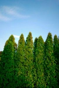 Reducing Traffic Noise with Plants: Many experts do agree that trees have the potential to help reduce noise by up to 8 decibels.The best strategy is to plant a row of tall evergreen trees and then a row of evergreen shrubs. Gives suggestions as to which trees/shrubs to choose.